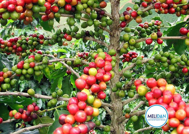 cây-cà-phê-arabica