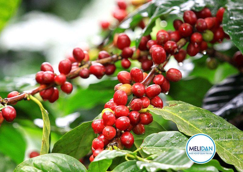 cây-cà-phê-robusta